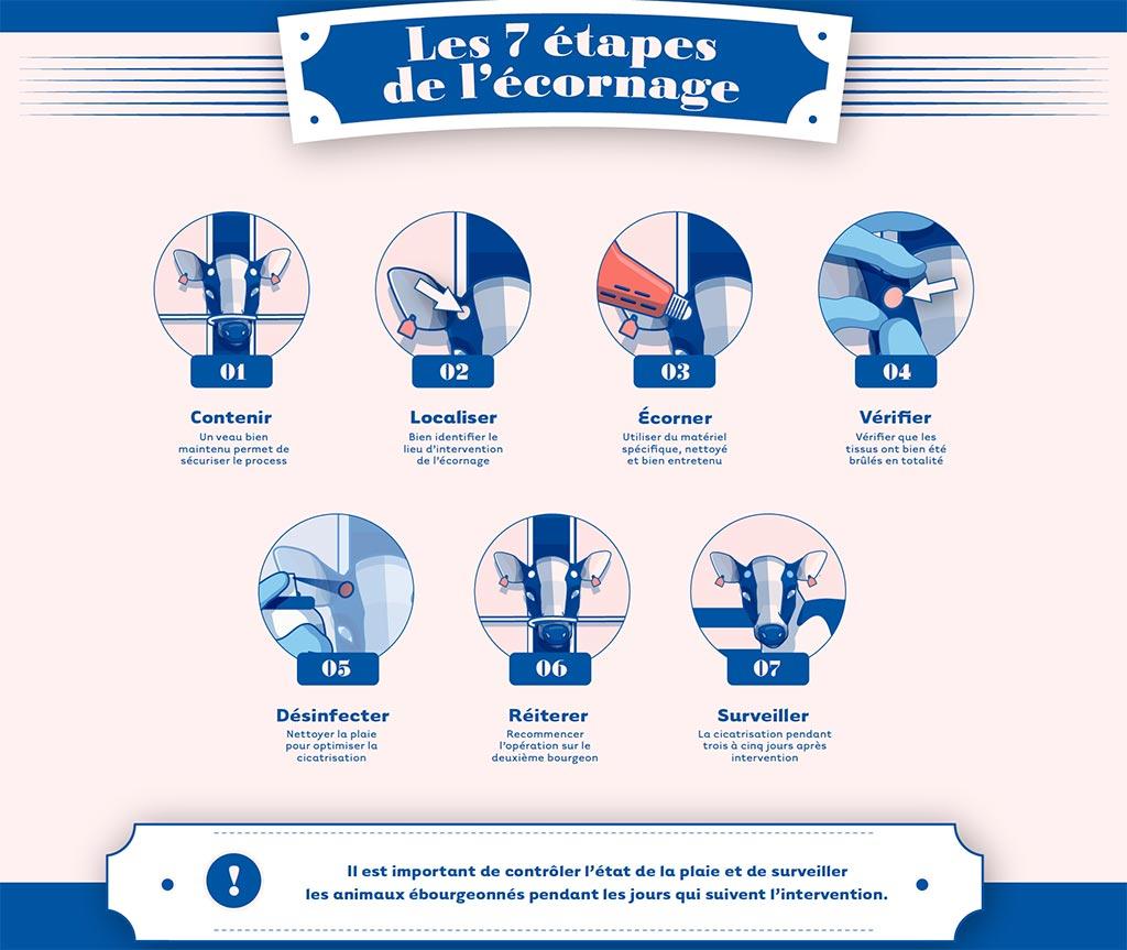 cniel infographie 7 etapes d'ecornage du veau