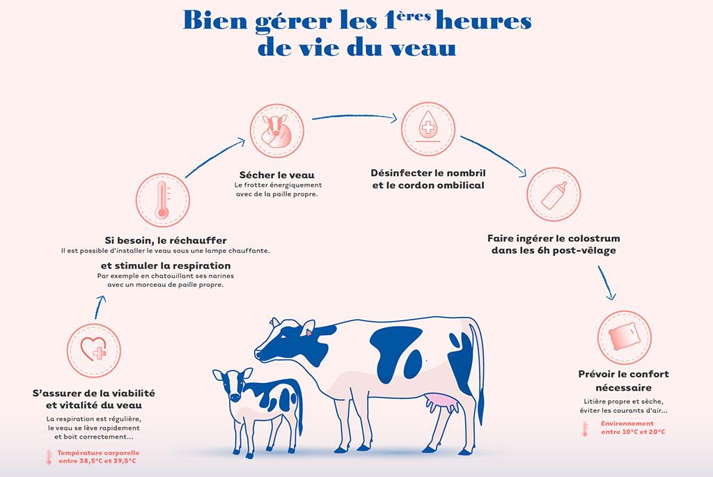cniel infographie gestion des premieres vies du veau